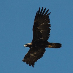 Golden photo bird Eagle aquila Golden_Eagle_in_flight_-_3