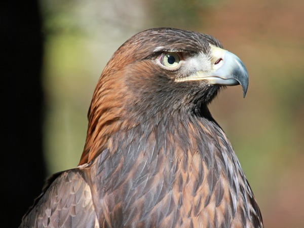 aquila Eagle bird photo Golden Golden_Eagle_RWD1