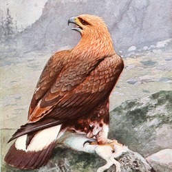 aquila Eagle photo bird Golden GoldenEagleBrehm