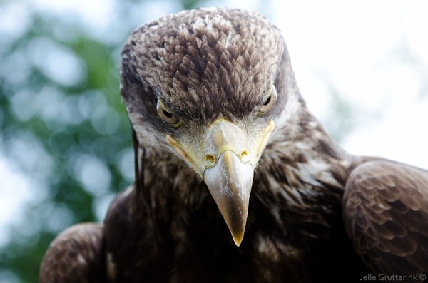 aquila Golden photo bird Eagle Golden_eagle_portrait