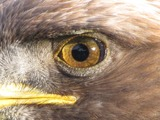aquila bird Eagle Golden photo Golden_Eagle_eye