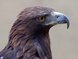 aquila photo Golden Eagle bird Golden_Eagle_3c_(6447274107)