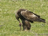 bird Eagle aquila Golden photo Golden_Eagle_(Aquila_chrysaetos)