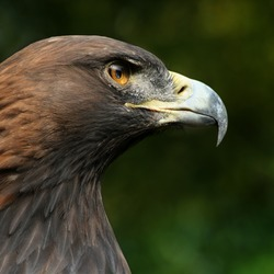 bird Golden photo Eagle aquila Steinadler_Aquila_chrysaetos_closeup2_Richard_Bartz