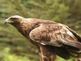 bird Golden photo aquila Eagle photo aquila Eagle Golden bird Aquila_chrysaetos_Flickr