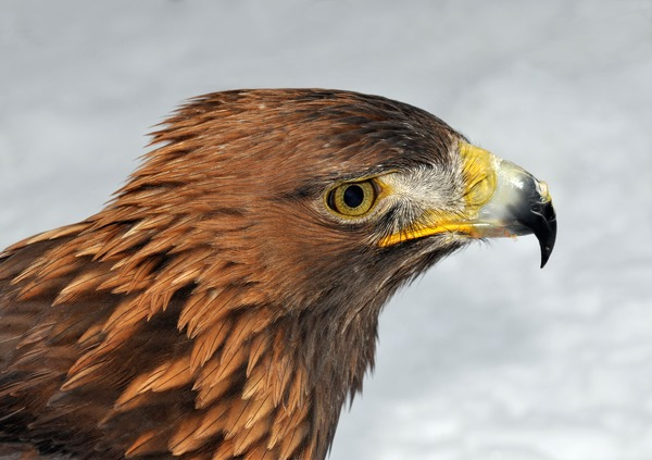 bird aquila Golden Eagle photo Aquila_chrysaetos_(Linnaeus_1758)