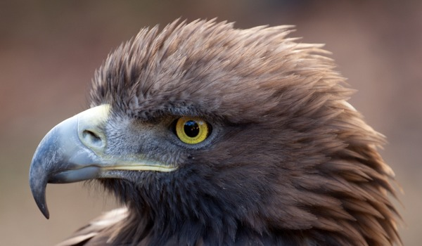 bird aquila Golden Eagle photo photo Golden Eagle aquila bird Golden_Eagle_2c_(6447282761)