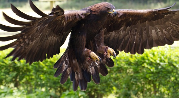 bird aquila photo Eagle Golden Golden_Eagle_12a_(6027292102)