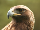 bird photo Eagle Golden aquila photo Eagle Golden aquila bird Aquila_chrysaetos_portrait