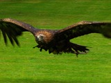 bird photo aquila Golden Eagle Golden_eagle_in_flight