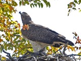 African Martial avian bird photo Eagle Martial_Eagle_(Polemaetus_bellicosus)_-_Flickr_-_Lip_Kee_(6)