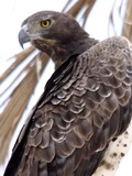 Eagle African Martial bird photo avian Flickr_-_don_macauley_-_Martial_Eagle