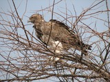 Eagle African photo Martial bird avian Polemaetus_bellicosus_-Etosha_National_Park,_Namibia-8