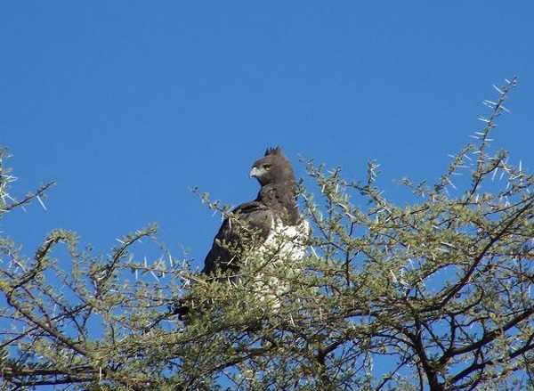 Martial Eagle African bird avian photo Martial_Eagle_Namibia