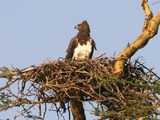 Martial Eagle photo avian bird African Polemaetus_bellicosus_Martial_Eagle