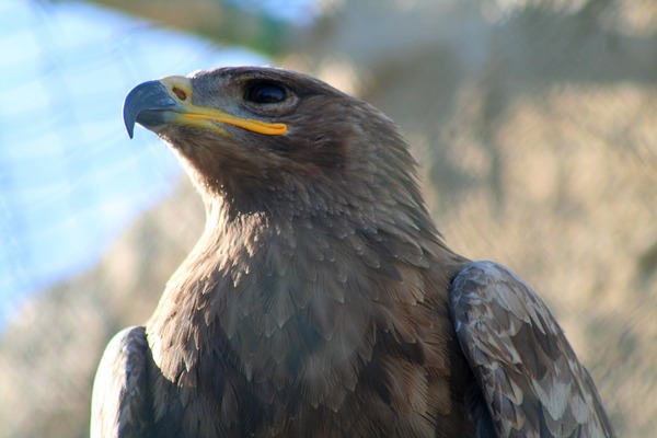 bird avian Eagle Martial African photo Steppe_Eagle,_Malta_Falconry_Centre