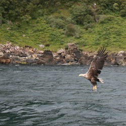 Eagle aguila picture White-tailed sea White_tailed_Eagle_DG