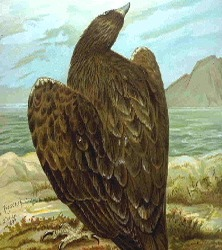 Eagle sea picture White-tailed aguila Whitetaileagle
