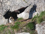 White-tailed aguila Eagle sea picture Haliaeetus_albicilla_-Littleisland,_Norway_-juvenile-8a_(3)