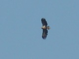 White-tailed aguila sea picture Eagle White-tailed_Eagle-Mindaugas_Urbonas-1