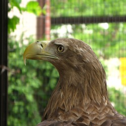 White-tailed sea Eagle picture aguila Haliaeetus_albicilla_Warsaw_ZOO_02