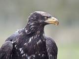 aguila White-tailed Eagle sea picture Haliaeetus_albicilla_in_Eekholt_Zoo