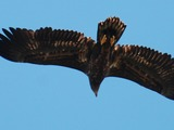 aguila sea White-tailed Eagle picture Haliaeetus_albicilla_-Littleisland,_Norway_-juvenile-8a_(4)