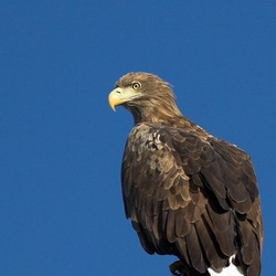 aguila sea White-tailed picture Eagle White_tailed_eagle