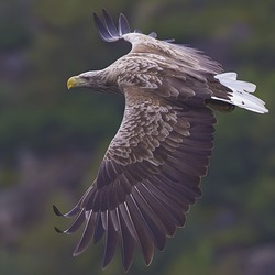 picture Eagle aguila White-tailed sea White-tailed-eagle