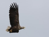 sea aguila Eagle picture White-tailed Haliaeetus_albicilla_-Littleisland,_Norway_-adult-8a
