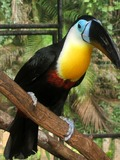 Toucan Channel billed toucan Ramphastos