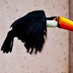 Toucan Ramphastos_tocokeel billed flying Ramphastos