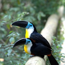 Toucan Ramphastos_vitellinus Birds_of_Eden South_Africa Ramphastos (2)