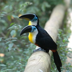 Toucan Ramphastos_vitellinus Birds_of_Eden South_Africa Ramphastos