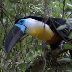Toucan Ramphastos_vitellinus Birds_of_Eden black blue Ramphastos