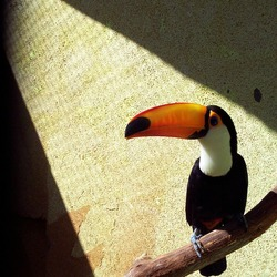 Toucan Toco keel billed  Ramphastos