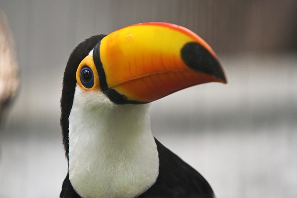 Toucan Toco keel billed closeup Ramphastos