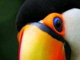 Toucan Toucan_close Ramphastos