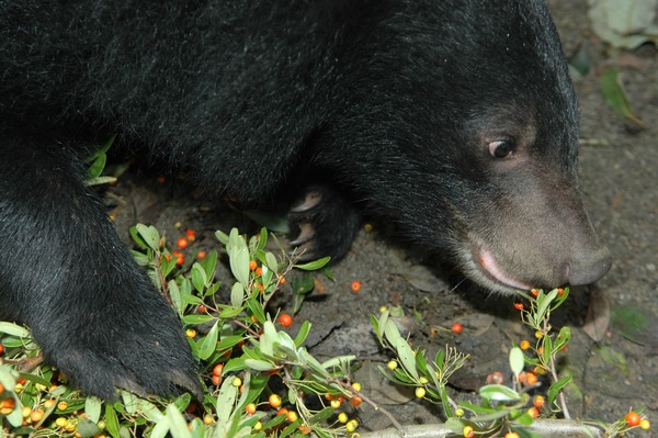 Asiatic Black Bear  asian Formosan Ursus thibetanus