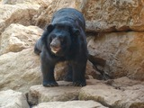 Asiatic Black Bear asian (2)