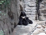 Asian Black Bear Photo Gallery