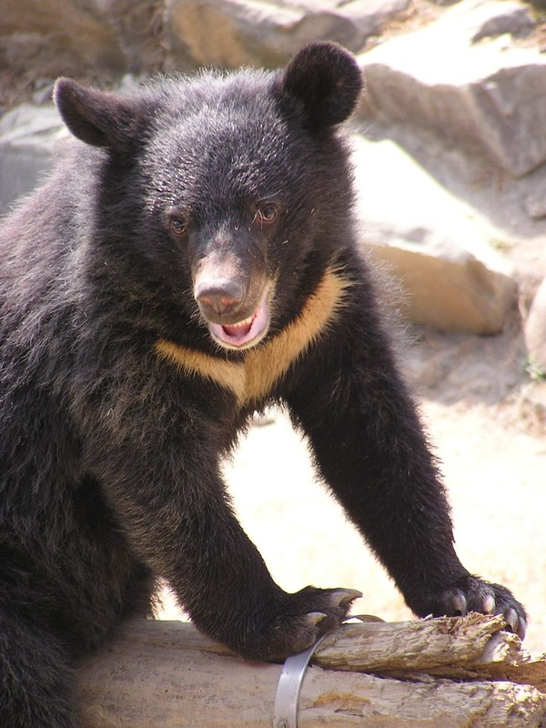 Asiatic Black Bear asian Formosan