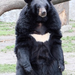 Asiatic Black Bear asian Ursus thibetanus (Wroclaw_zoo)