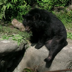 Asiatic Black Bear asian Ursus thibetanus