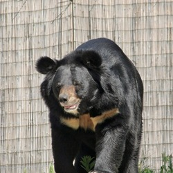 Asiatic Black Bear asian Ursus_thibetanus Philadelphia Zoo