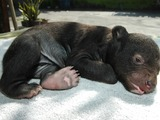 Asiatic Black Bear asian cub baby