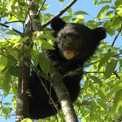 Asiatic Black Bear asian cub tree