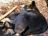 Asiatic Black Bear asian sleeping