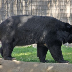 Asiatic Black Bear asianUrsus thibetanus