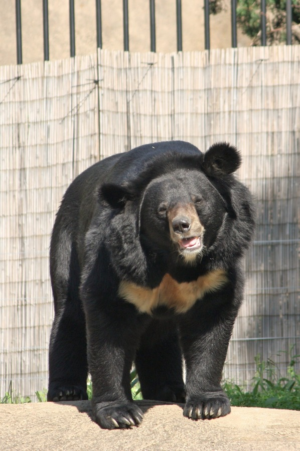 Asiatic Black Bear asianUrsus_thibetanus Zoo